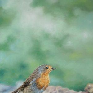 Pastelliteos punarinnasta, 31 x 48 cm. Mallikuva: Marcel Zijlmans